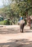 Grande elefante com o mahout novo Fotografia de Stock