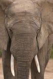 Grande elefante di toro Immagini Stock