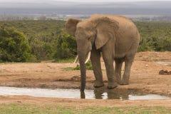 Grande elefante di toro Immagine Stock