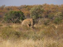 Grande elefante di toro nel musth Fotografia Stock Libera da Diritti