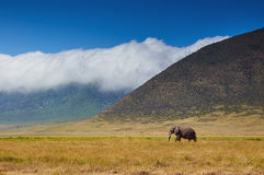 Grande elefante maschio che cammina nella savana Fotografia Stock Libera da Diritti