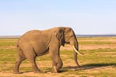 Grande elefante in savanna Amboseli, Kenya Fotografia Stock Libera da Diritti