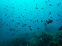 Grande escola da silhueta dos peixes sobre a floresta da alga em Underwa azul fotos de stock royalty free