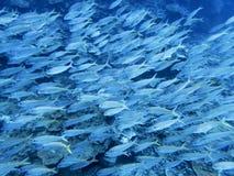 Grande escola de peixes tropicais na água azul do oceano imagem de stock royalty free