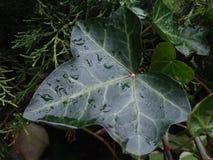 Grande escuro - folha verde da hera na chuva imagens de stock