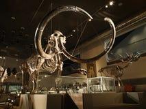 Grande esqueleto gigantesco no museu com luminoso Fotos de Stock Royalty Free