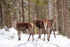 Grande et belle femelle de cerfs communs rouges pendant l'ornière de cerfs communs dans l'habitat de nature dans la République Tc Images libres de droits