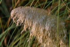 Grande et pelucheuse inflorescence de stipe plumeux dans le jardin botanique de Sotchi Russie photographie stock