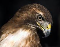 Grande falcão vermelho da cauda Fotografia de Stock Royalty Free