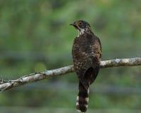 Grande falco-cuculo (sparverioides di Hierococcyx) lo spirito del falco dell'aquila Immagini Stock Libere da Diritti