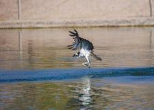 Grande falco pescatore con la sua prima colazione Immagini Stock