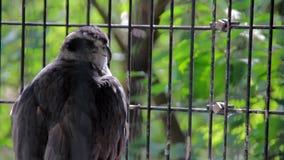 Grande falco selvaggio in gabbia video d archivio