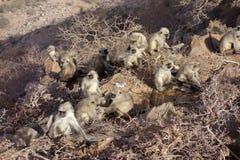 Grande família de macacos do Langur Foto de Stock Royalty Free