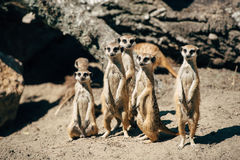 Grande família dos meercats Foto de Stock