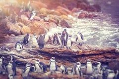 Grande famiglia dei pinguini Fotografie Stock Libere da Diritti