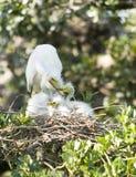 Grande famiglia del Egret Fotografia Stock Libera da Diritti