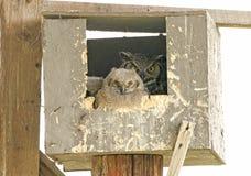 Grande famiglia del gufo cornuto in nido per deporre le uova Fotografia Stock Libera da Diritti