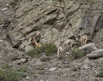 Grande famiglia delle pecore del corno Immagini Stock Libere da Diritti