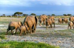 Grande famille d'éléphant africain de buisson (africana de Loxodonta) Photographie stock libre de droits