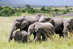 Grande famille d'éléphant africain de buisson (africana de Loxodonta) Image stock