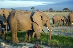Grande famille d'éléphant africain de buisson (africana de Loxodonta) Photos stock