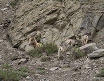 Grande famille de moutons de klaxon Images libres de droits