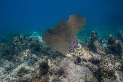 Grande fan di corallo Immagini Stock Libere da Diritti