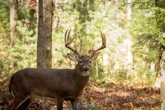 Grande fanfarrão branco-atado dos cervos nas madeiras Fotografia de Stock