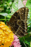 Grande farfalla Fotografia Stock