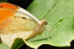 Grande farfalla arancione di punta fotografie stock