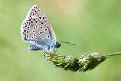 Grande farfalla blu Fotografie Stock