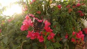 Grande farfalla che impollina Bush con i fiori rossi al tramonto archivi video