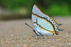 Grande farfalla del nawab Immagine Stock
