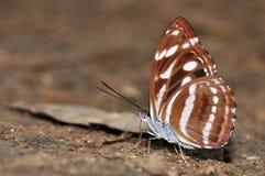 Grande farfalla del sergente Immagini Stock Libere da Diritti