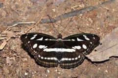 Grande farfalla del sergente Immagine Stock Libera da Diritti