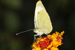 Grande farfalla di bianco di cavolo Fotografie Stock Libere da Diritti