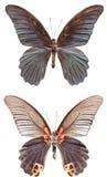 Grande farfalla di Morman Immagine Stock Libera da Diritti