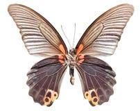 Grande farfalla di Morman Fotografia Stock Libera da Diritti