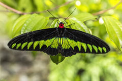 Grande farfalla di verde nero e giallo Fotografia Stock Libera da Diritti