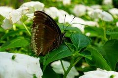 Grande farfalla femminile della Uovo-mosca Fotografia Stock Libera da Diritti