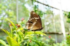 Grande farfalla femminile della Uovo-mosca Immagini Stock Libere da Diritti