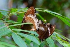 Grande farfalla femminile della Uovo-mosca Fotografie Stock
