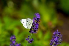 Grande farfalla gialla sul fiore viola del levander immagine stock libera da diritti