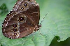 grande farfalla marrone e blu di morphos su una foglia verde nel profilo fotografie stock