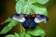 Grande farfalla mormonica Fotografie Stock