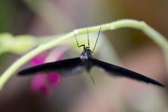 Grande farfalla mormonica Fotografia Stock