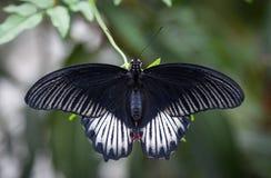 Grande farfalla nera Fotografia Stock