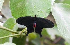 Grande farfalla nera Immagine Stock Libera da Diritti