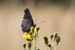 Grande farfalla nera su un fiore giallo Fotografia Stock