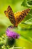 Grande farfalla Spangled del Fritillary Fotografie Stock